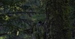 Close rack on hen golden eye hen in broken tree trunk nest in forest Stock Footage