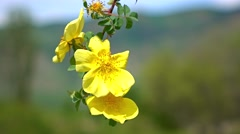 Yellow briar flowers 4K close up shot - stock footage