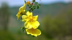 Yellow briar flowers and racking focus of valley 4K shot - stock footage