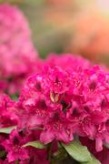 Pink azaleas blooms with small evergreen leaves Stock Photos