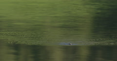 Medium caddis swimming back and forth on the calm waters of Yellowstone pond Stock Footage