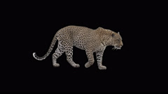 Real shot Male Leopard slowly walking with alpha seamlessly looped Stock Footage