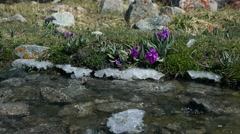 Purple flowers by cold spring mountainous steam 4K video, Kyrgyzstan - stock footage
