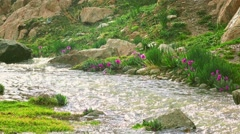 Purple flowers by cold spring mountainous steam in the rain 4K video, Kyrgyzstan - stock footage