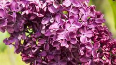 Blossoming Syringa vulgaris Stock Photos
