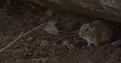 Small ground squirrel emerges from log close up Stock Footage