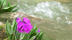 Purple flowers by cold spring mountainous steam 4K close up video, Kyrgyzstan Stock Footage