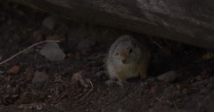Gopher sits under log breathing heavily while scared - stock footage