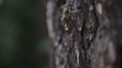 The bark of a large tree resin Stock Footage