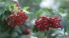 Berries red rowan shoot close-up - stock footage