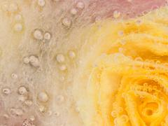 Unusual abstraction with a yellow rose Stock Photos