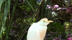 Wild Cattle Egret (Bubulcus ibis). Stock Footage