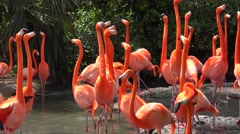 Caribbean flamingo (Phoenicopterus Ruber) at breeding season. Bermoda zoo. Stock Footage