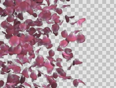 Pink rose petals transition left to right Stock Footage