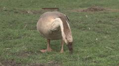 Goose graze on a field Stock Footage