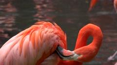Caribbean flamingo (Phoenicopterus Ruber). - stock footage