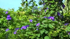 Dense thickets of Morning glory blue flowers (Convolvulaceae). Bermuda - stock footage
