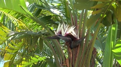 Flower of Giant White Bird of Paradise palm (Strelitzia nicolai). - stock footage