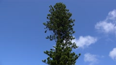 Lone Norfolk Island Pine (Araucaria heterophylla). Bermuda - stock footage