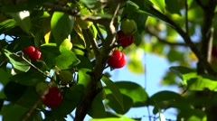 Suriname cherry (Eugenia uniflora) with ripe fruits. Bermuda Stock Footage
