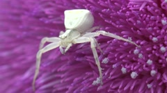 Insect Crab Spider, white Misumenoides, sits in flower, macro, 4k Stock Footage
