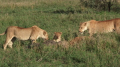 Lion pride with kill Stock Footage