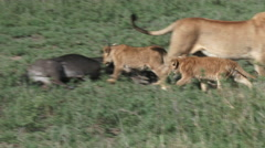 Lions around kill Stock Footage