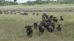Wildebeests herd migrating Stock Footage