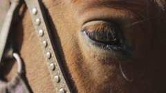 The brown horse with settled eye, harness and bridle made of leather and - stock footage