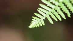 Fern  leaf in the wind Stock Footage