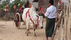 Decorated buffalo and local man in yard, Bagan, Myanmar. Burma Stock Footage