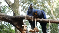 Beautiful Blue Macaw Stock Footage