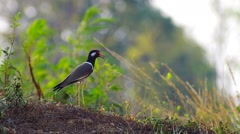Red-wattled lapwing bird standing on the ground Stock Footage