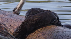Three baby otters and mother play on log and dive into water of pond - stock footage