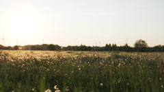 White dandelion field in sunset light walk side shot from gimbal stabilizer Stock Footage