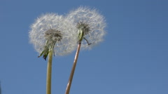 2 dandelion heads blow in the air on a blue sky background Stock Footage