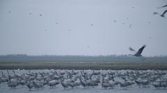A Huge Flock of Gray Stork Standing in Water of the River in a Field Over Which Stock Footage