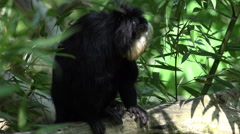 4k White-faced Saki monkey male close up sunny nature Stock Footage