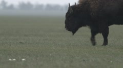Bison Stopped and Start Grazing in a Meadow in National Reserve Closeup Stock Footage