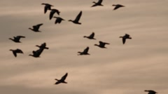 Flock of Birds Fly Through the Sky Which Dimly Lit by the Setting Sun Stock Footage