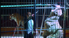 Tiger tamer and tigers in a cage at a circus performance - stock footage