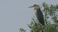 Grey Heron On Tree standing Stock Footage