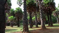 Sugar palm Stock Footage
