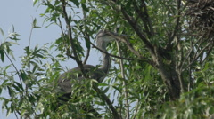 Grey Heron On Tree Stock Footage