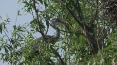 Grey Heron On Tree Stock Footage