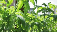 Seedlings of tomato on windowsill Stock Footage