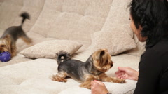 Pets. Close up two Yorkshire terriers are playing together on the couch. The  Stock Footage