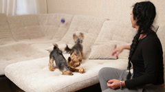 Woman owner of two Yorkshire terriers is playing with them on the couch. The  Stock Footage
