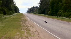 Large stork takes off from the ground by the road Stock Footage