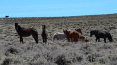 Wild Mustangs Horse Wyoming Stock Footage